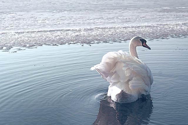 凍った湖の白鳥