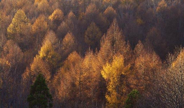 落葉松林の紅葉