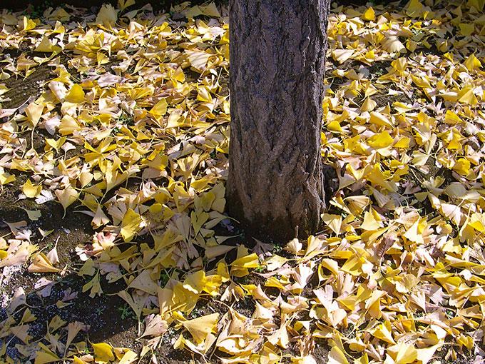 黄葉の落ち葉