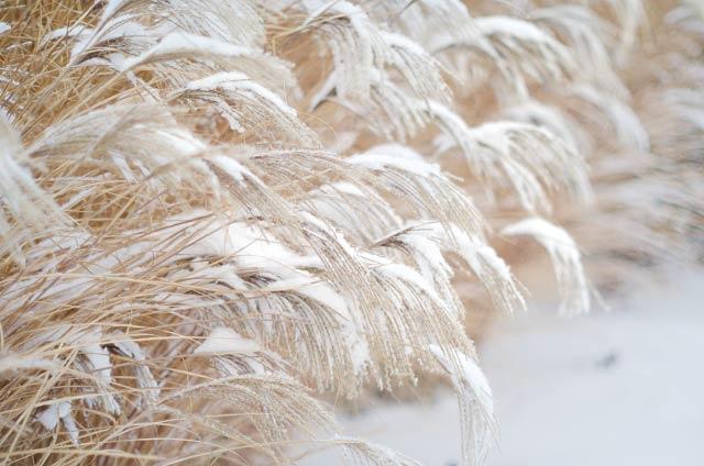 霜枯れの草