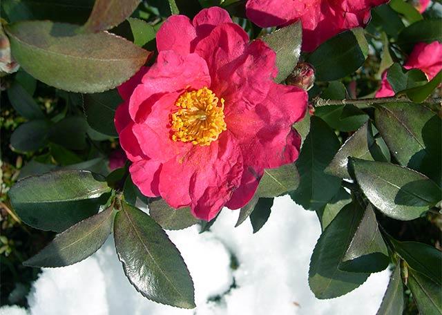 雪の中の寒椿