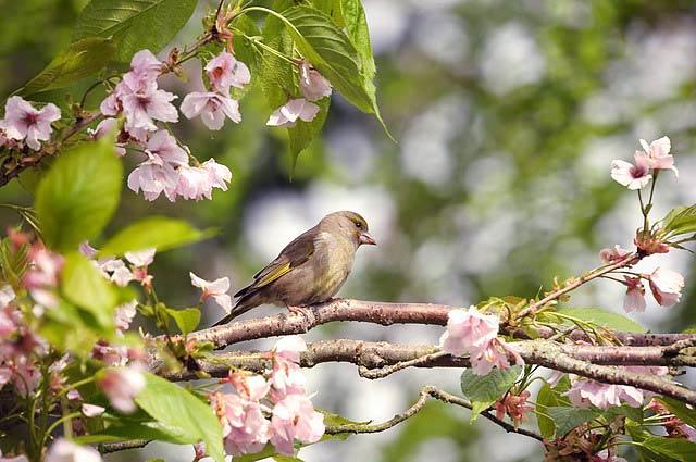 カワラヒワと桜