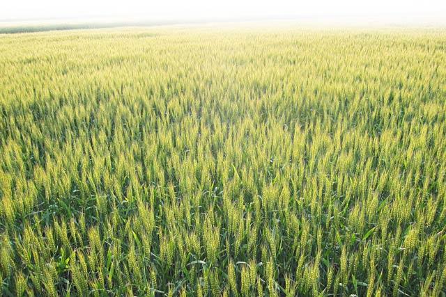 麦畑に渡る風