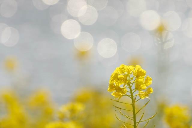 菜の花と光