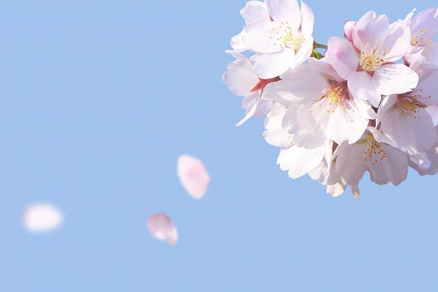 桜の花びらが散る
