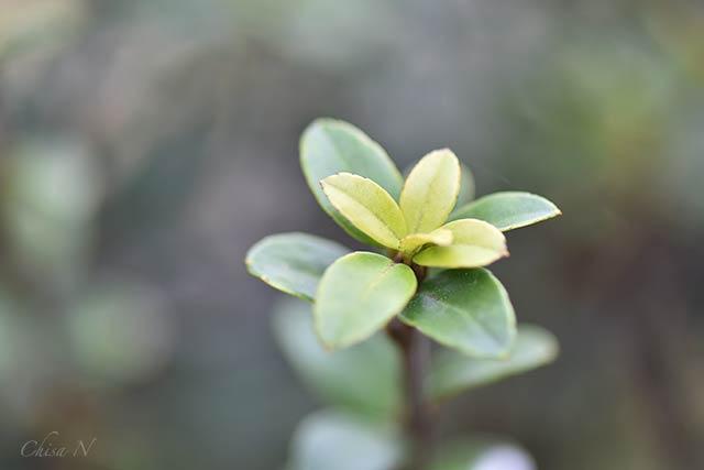 マサキの芽