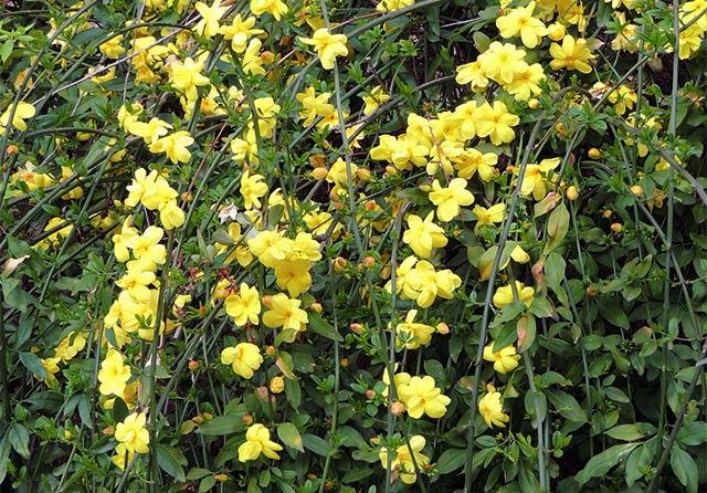 オウバイの花