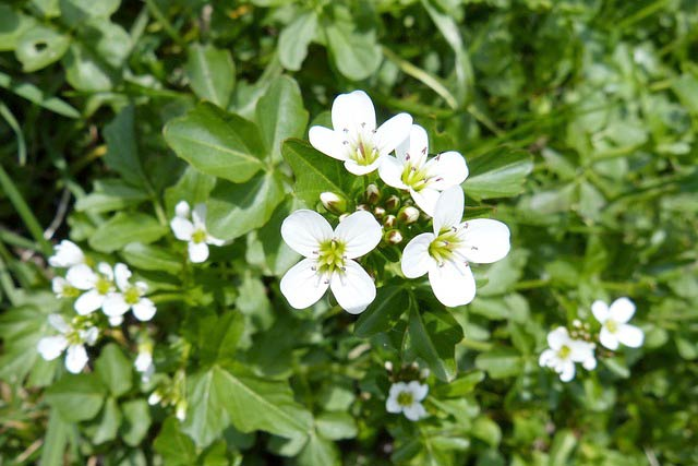 クレソンの花