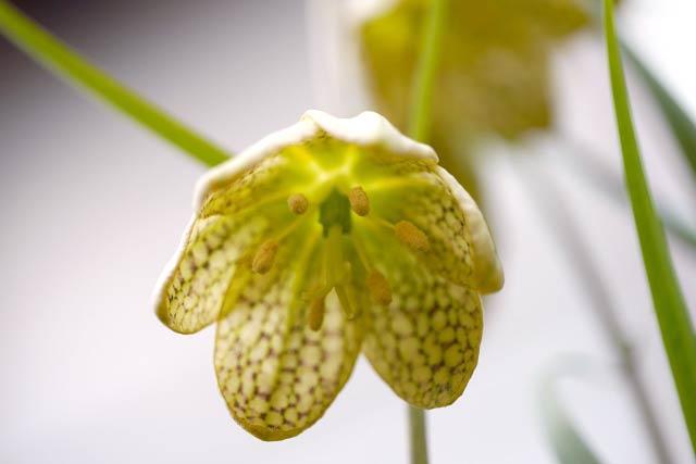 バイモの花