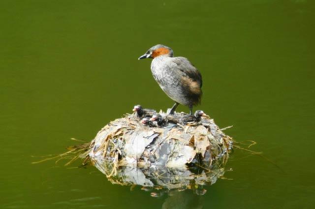 鳰の浮巣(カイツブリの巣)