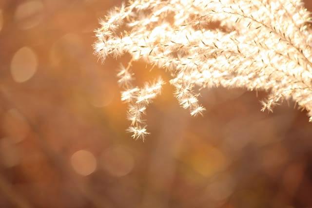 光るススキの穂