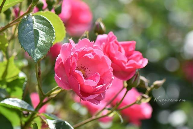 バラ園にてー濃ピンクのバラ