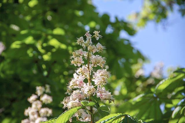 マロニエの花