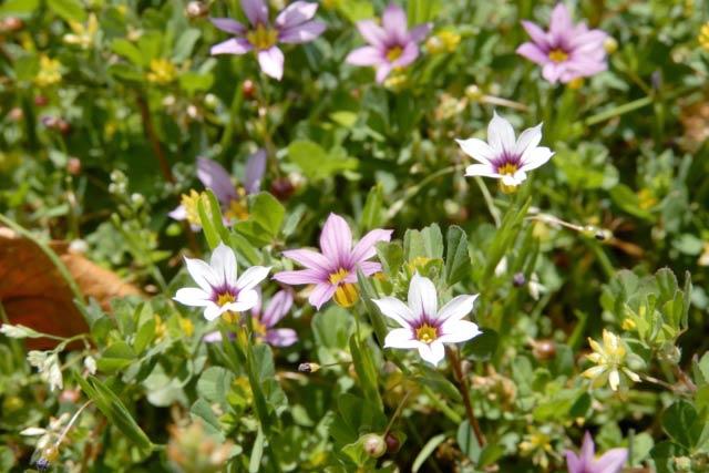 ニワゼキショウの花、白とピンク