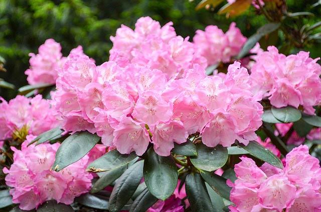 ピンクの石楠花の花