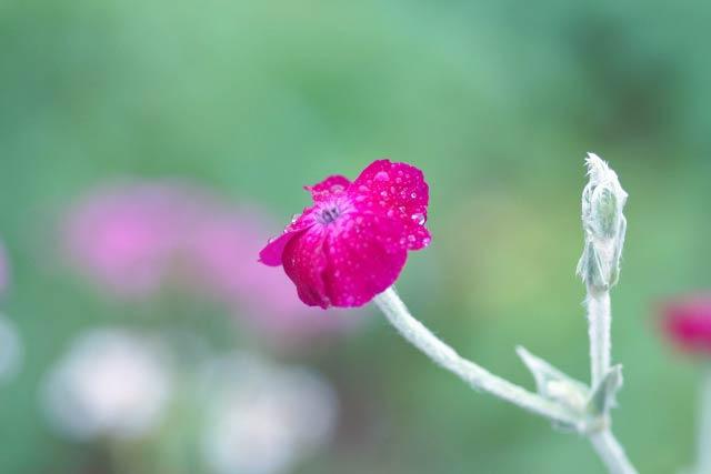 スイセンノウの花