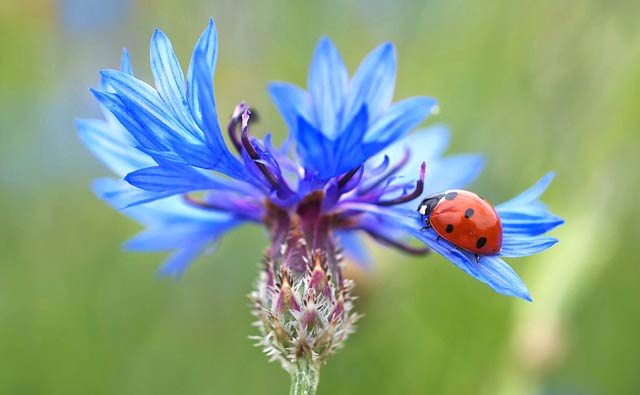 青いヤグルマギクの花にテントウムシ