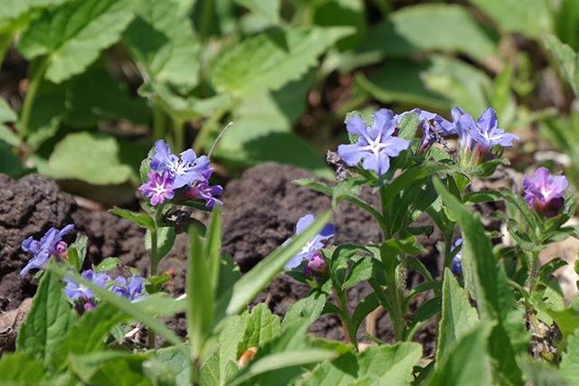 ホタルカズラの花