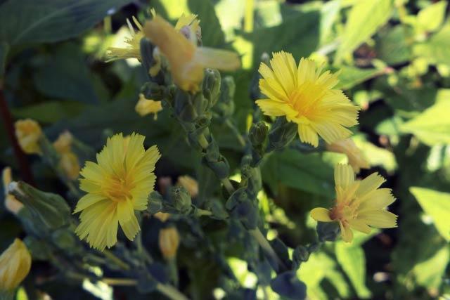 チシャの花