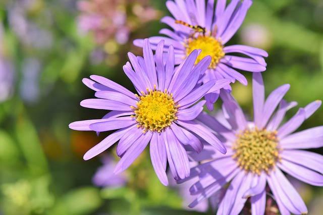 ユウゼンギク、夏の菊
