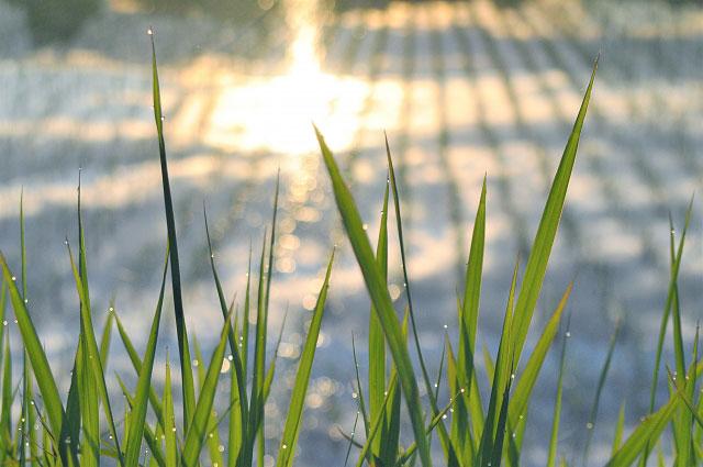 早朝の水田